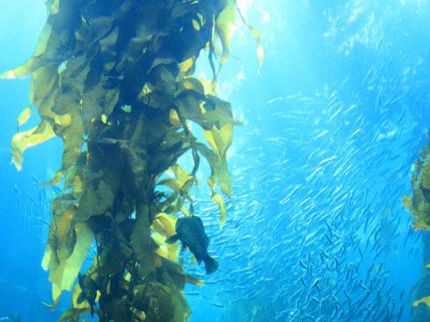 sea vegetable underwater